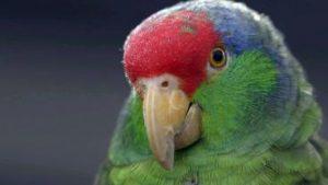 pasadena-parrots
